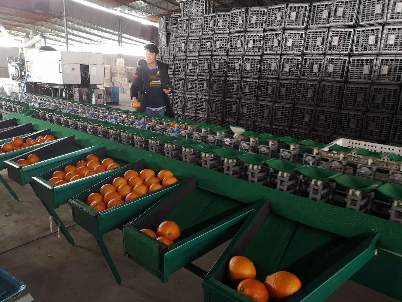 丑橘怎么选?丑橘选果机厂家直销优质选果