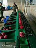 火龍果選果機,水果的重量分選機