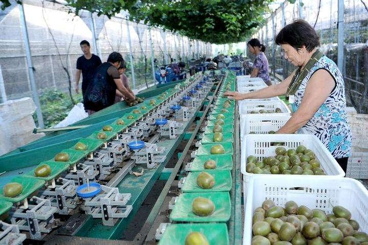 武夷猕猴桃选果机 不伤果的重量分选机