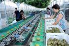眉县猕猴桃选果机 筛选机 去毛机厂家
