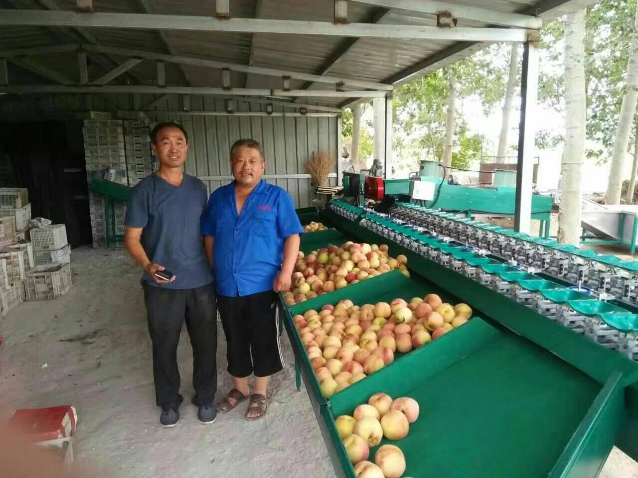 蒙阴桃子选果机 桃子重量分选机 厂家在山东