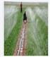小麥微噴帶