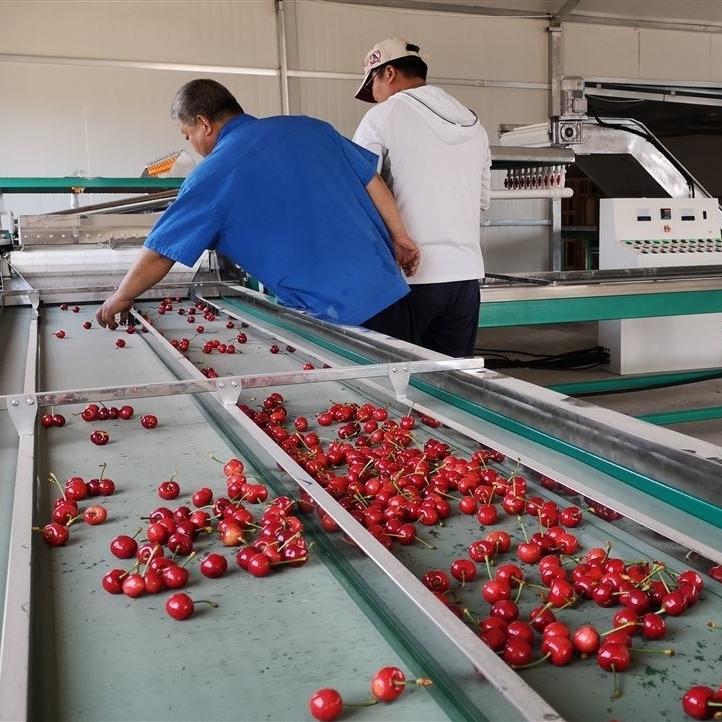 樱桃分选机-大樱桃预冷自动分选大小机器