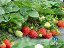 湖南貴州重慶草莓冷庫保鮮方法及保鮮時間