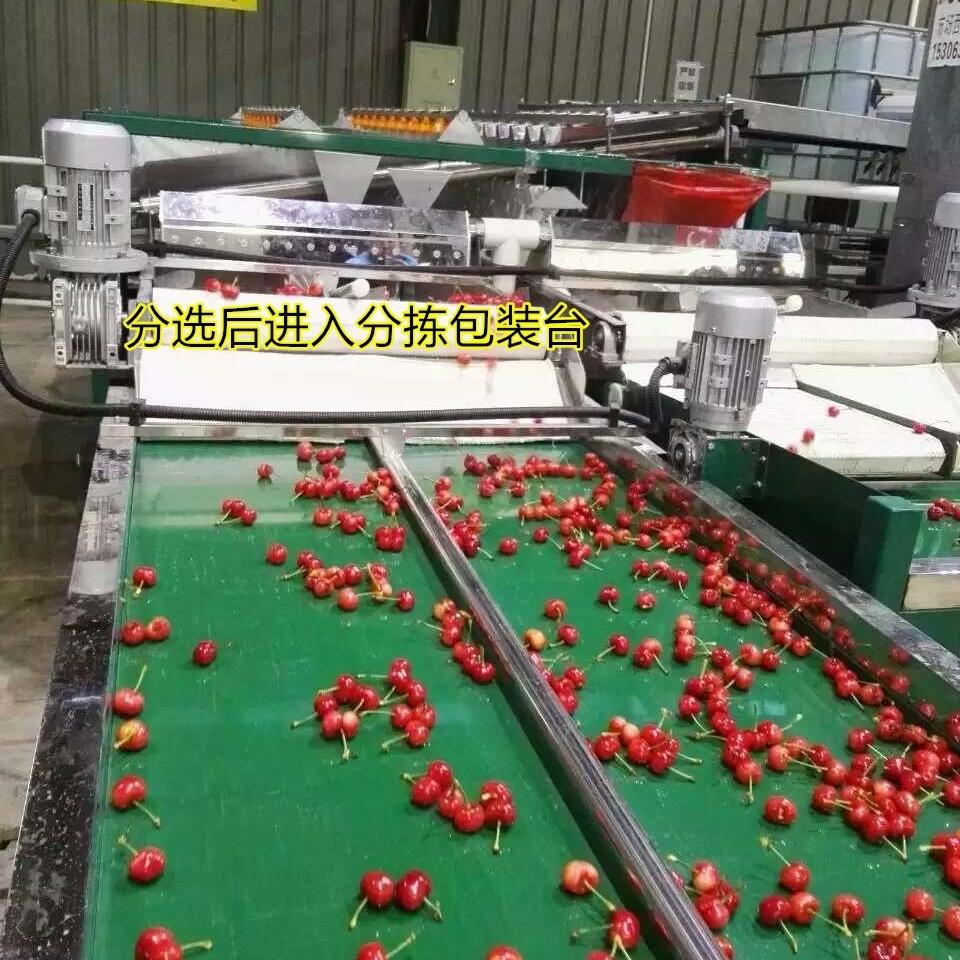 樱桃采后处理中重要一步 樱桃预冷分选机