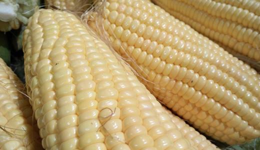 """玉米生产进入稳定期 技术创新才能""""稳中求进"""""""