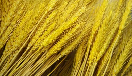 小麦产量稳定上升 自动化设备为产业带来增长动力
